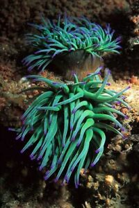 PURPLE TIPPED ANEMONE'S MARINE ANEMONES LIVE CORAL
