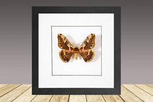 Caligula boisduvalii, framed moth, real insect, real moth