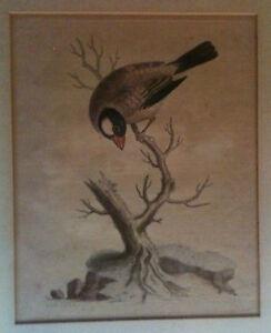 Engraved 1740 George Edwards Original Print ~ Plate #41 ~ Framed ~