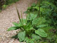 Broad-leaved Plantain - Plantago major - 100+ seeds - Heirloom!