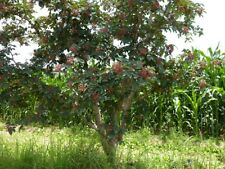 Shrub tree seed - Organic Zanthoxylum Simulans 200 Seeds Szechuan Sichuan Pepper