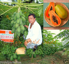 "10 Seeds Carica Papaya ""Red Royale"" Hybrid Dwarf Papaya Fruit 7 Months Fruiting!"