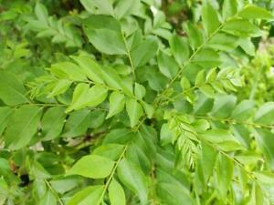 CURRY LEAF MURRAYA KOIENGII-LIMDDI PATTA SMALL SEEDLING PLANT 15-20CM IN 1LTR