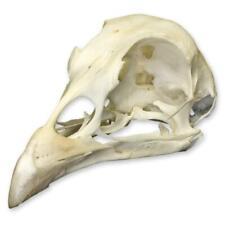 Real Pheasant Skull