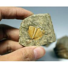 Natural Fossil Trilobite Coronocephalus jastrowi on Matrix Rock Crystal Specimen