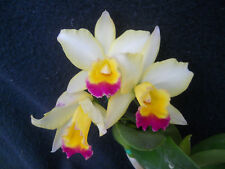 Potinario Eye Candy 'Mellow Yellow', orchid plant in bud