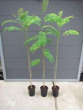 Albizia julibrissin 'Rosea' - Seidenbaum - Pflanze 140-170cm - Winterhart