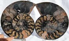 "1413nxx RARE 1in100 BLACK Ammonite PAIR Deep Crystals  FOSSIL XXXL 7.6"" 194mm"