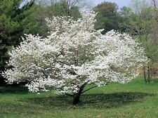 10 American WHITE FLOWERING DOGWOOD Small Tree Cornus Florida Southern Seeds