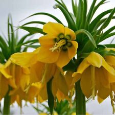 50pcs Yellow Imperial Crown Seeds Fritillaria imperialis LuteaSeeds Garden Deco