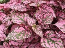 50 Hypoestes Seeds Hypoestes Select Rose