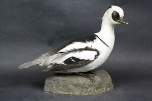 Taxidermy-hunting-chasse-präparat- Smew with permit