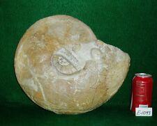 "Giant Size, Rare 13-3/4"" Texas Fossil Ammonite ,Dinosaur Age, Cretaceous-E1093"