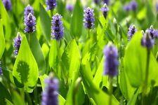 Live Pontederia cordata (Pickerel Weed) Aquatic Plant