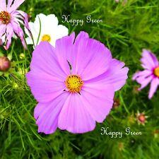 COSMOS EARLY VEGA DWARF MIX - 300 seeds - Cosmos Bipinnatus - LARGE OPEN FLOWERS
