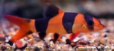 "(6) 1.5-2"" Clown Loach Chromobotia macracanthus Live freshwater tropical fish"