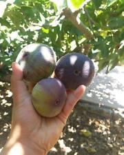 Fig Cuttings Maltese St. John Figs Large (2 crops) (San Giovanni)