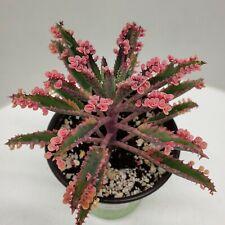 "Beautiful Rare Kalanchoe ""Pink Butterflies"