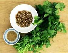 CORIANDER 200+ seeds herb garden EASY TO GROW corriander culinary herb vegetable