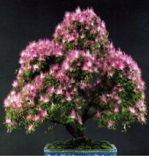 15x Albizia julibrissin Samen Baum Garten Pflanze Neuheit Original frisch B617