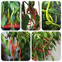 Bangalore Whippets Tail rote Chili aus Indien superlange Früchte kuriose Chilli
