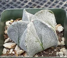 Astrophytum myriostigma Bishop's Cap Spineless Cactus 18