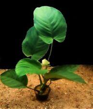 Anubias bateri - Breitblättriges Speerblatt - barschfeste Aquariumpflanzen