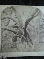 STA144 Arbre de Caoutchouc Noir Floride 1900 STEREO albumine stereoview