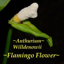 ~Flamingo Flower~ Anthurium Willdenowi RARE AROID good size for Terrarium Plant