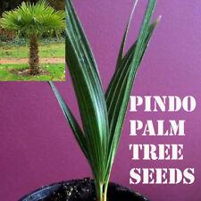 10 Pindo Palm Tree Seeds