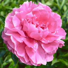 Peony Flower - Alex Fleming - Bare Root Plant - Spring Shipping - Perennial