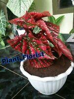 2 Plants Begonia brevirimosa subspecies exotica + Free Phytosanitary certificate