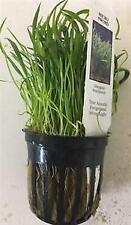*Buy 2 Get 1 Free* Micro Sword Lilaeopsis Novaezeland Live Aquarium Plants ✅