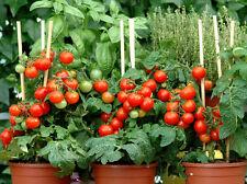 25 Graines de Tomate Littleboy Non Traité seeds plantes légumes potager en pot