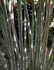 Bamboo, Ghost Bamboo (Dendrocalamus minor) 20 seeds. Australian seller.