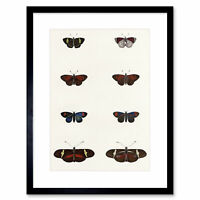 Painting Nature Study Insects Humboldt Butterfly Display Framed Print 12x16 Inch