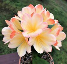 2 Amaryllis Usa Clivia Seeds Hattori Hattori Kylie (Japan) X Hattori Tyra(Japan)