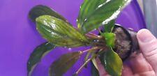 Bucephalandra Green 'Broad Leaf' - Rare Live Aquarium Plant - Aquascaping