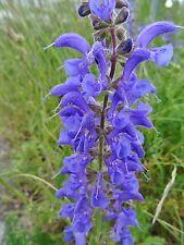 Salvia pratensis WIESEN-SALBEI 200 Samen winterhart  Wildblumen Bienenweide