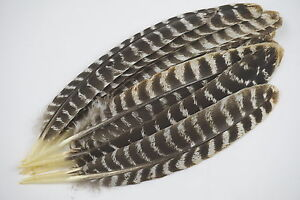 12 #1 WILD TURKEY ADULT SEC. WING FEATHERS BARRED ROUNDS CRAFTS