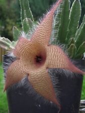 STAPELIA Gigantea cactus cacti succulent 2 rooted stems 2-4 inches tall