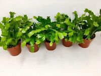 "Christmas Cactus Party Plant Zygocactus 4"" Pot Varieties vary w/ the season 3pcs"