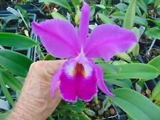 Cattleya jenmanii var. rubra 2 inch pot Nice Species