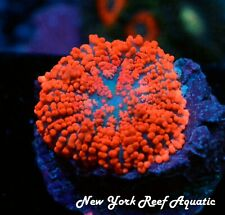 New York Reef Aquatic - 0611 D6 Red Orange Superman Mushroom Wysiwyg Live Coral