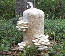 112gr//4(oz.)WHITE PEARL OYSTER /MUSHROOM SPAWN,SEEDS/FOR LOGS AND SUPSTRATS!!!