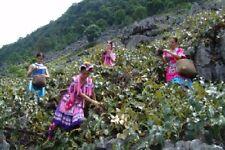 Rare-Vitis amurensis - Hardy Amur Grape - rare grape varieties 2 fresh cuttings