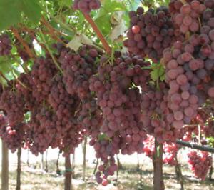 6 ORGANIC SEEDS Grape GIANT RED ROUGE Vitis Fruit Vine Sweet Fragrant Heirloom