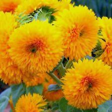 Dwarf Sungold Sunflower- 25 Seeds -Big Fluffy Teddy Bear Heads! Comb.S/H!