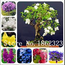 Bonsai Lilac Bonsai 100 Pcs Seeds Japanese Flowers Trees Outdoor Plants Garden Y