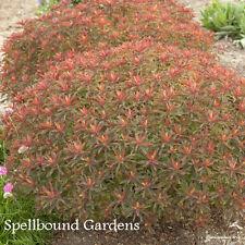Euphorbia polychroma 'Bonfire' PP18585 COPF Cushion Spurge Live Plant